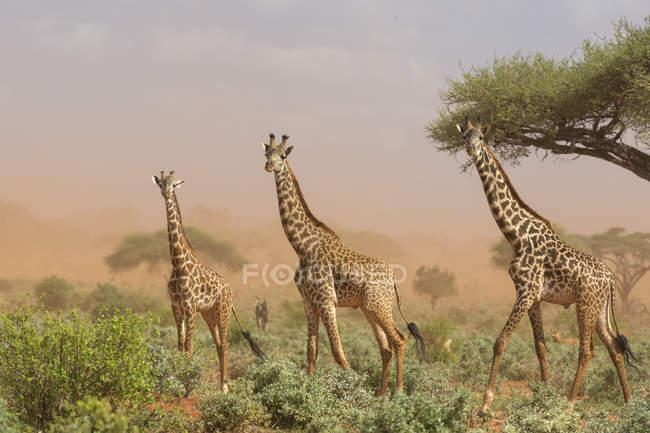 Girafes Masaï, Giraffa camelopardalis tippelskirchi — Photo de stock