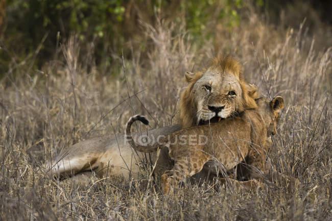 Hombre León, Panthera leo - foto de stock