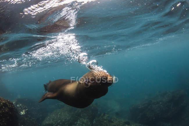 Galapagos-Seelöwe — Stockfoto