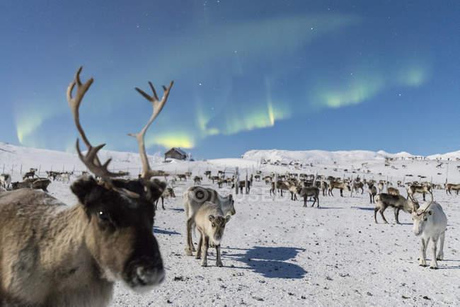Rebaño de renos bajo luces del norte - foto de stock