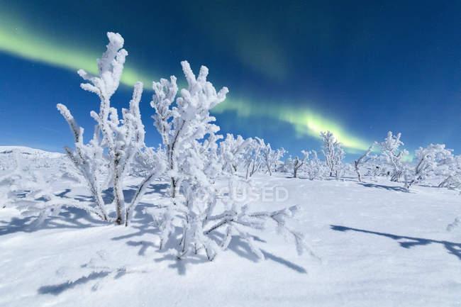 Árboles congelados bajo la aurora boreal - foto de stock