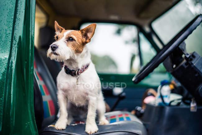 Собака-сидячи в машині — стокове фото
