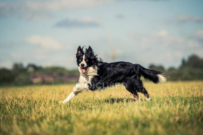 Border collie correndo em campo — Fotografia de Stock