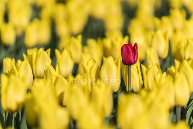Червоний tulip серед жовтий — стокове фото