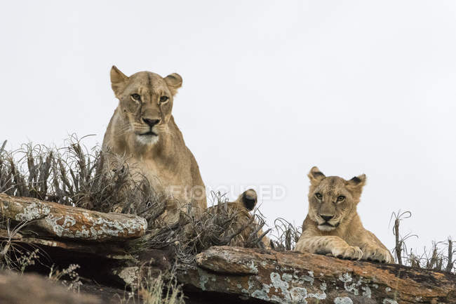 Lioness and cub lying on Lion Rock hill in Lualenyi reserve, Tsavo, Kenya — Stock Photo