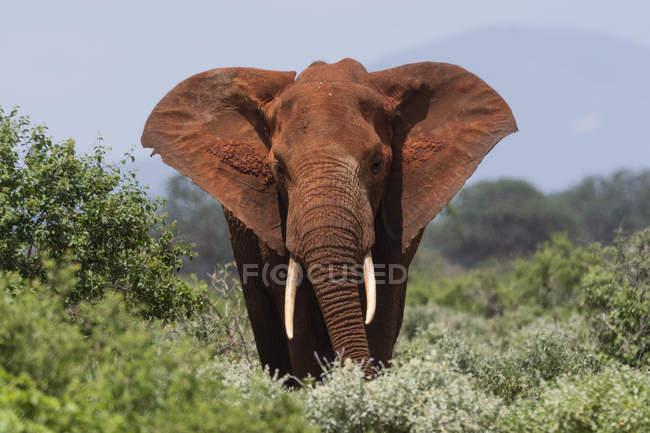 African elephant in meadow of Tsavo, Kenya — Stock Photo