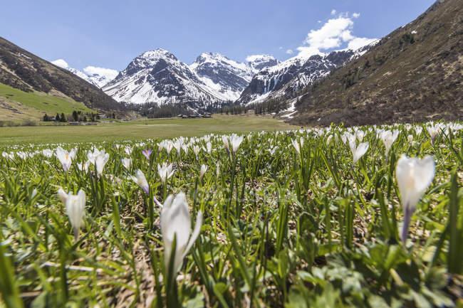 Snowy peaks and Crocus flowers — Stock Photo