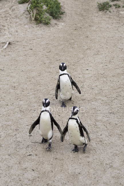African penguins on Boulders Beach — Stock Photo
