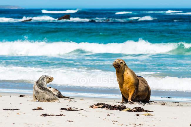 Leoni marini australiani sulla spiaggia — Foto stock