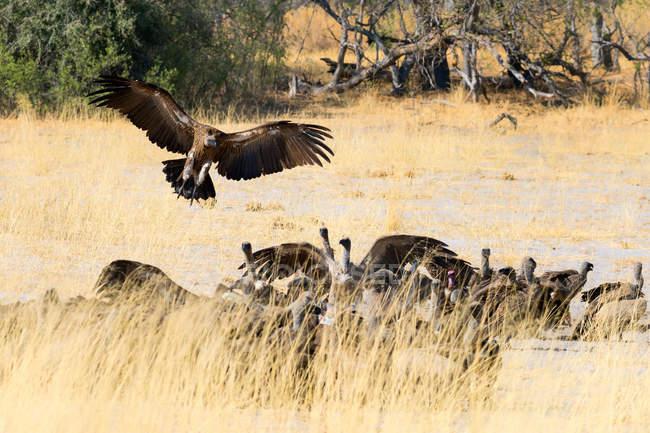 Stormo di avvoltoi in natura — Foto stock