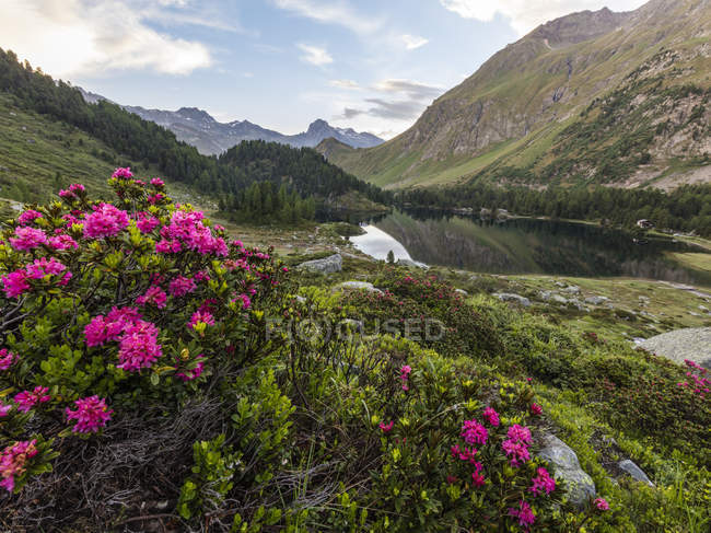 Rhododendrons on the shore of Lake Cavloc — Stock Photo