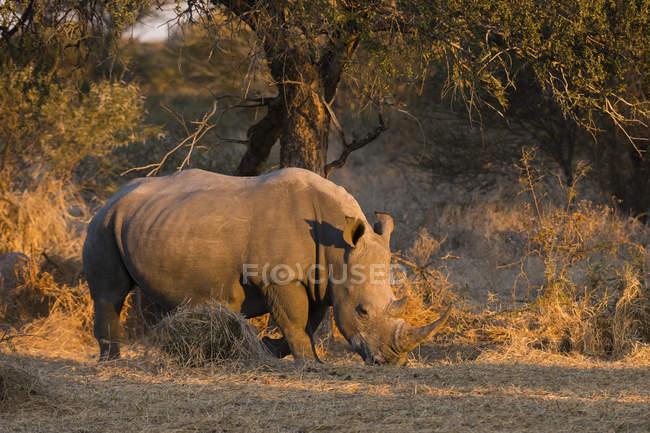 White rhinoceros standing in savanna — Stock Photo