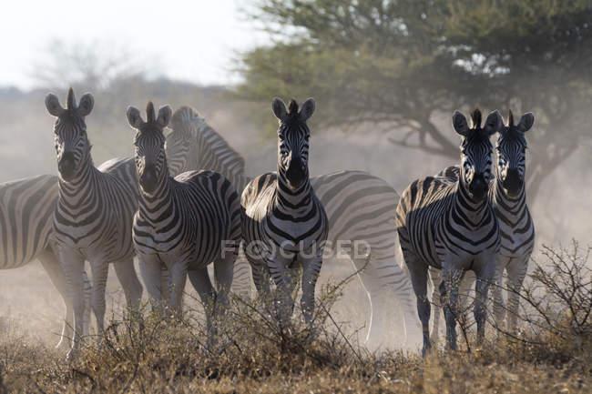 Група Burchells зебр в дикій природі — стокове фото