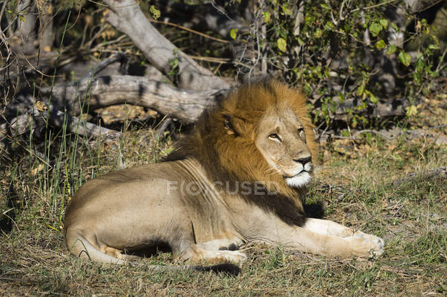 Lion lying in the wild — Stock Photo