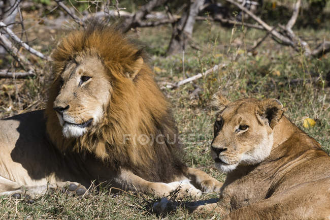 Lion and lioness lying in savanna — Stock Photo