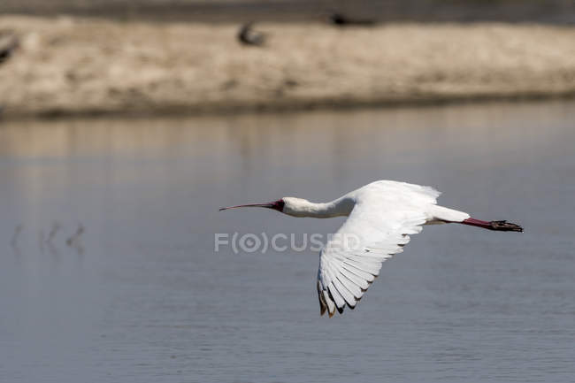 Spatola africana volare sopra il lago — Foto stock