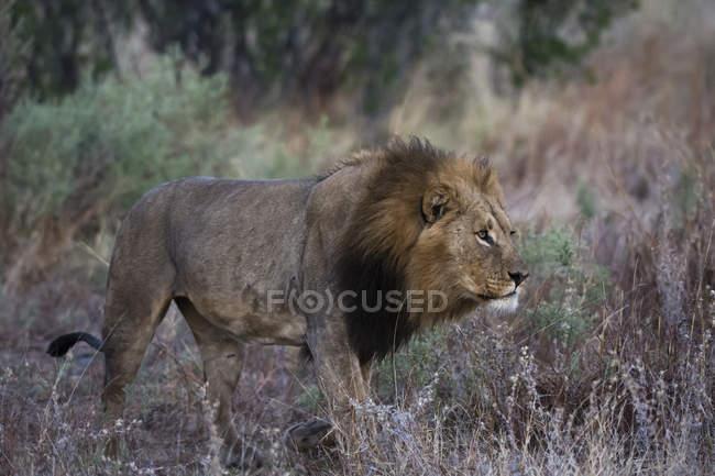 Leone aggirarsi nella savana — Foto stock