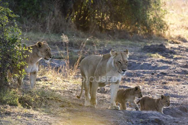 Leões e filhotes de caminhadas na natureza — Fotografia de Stock