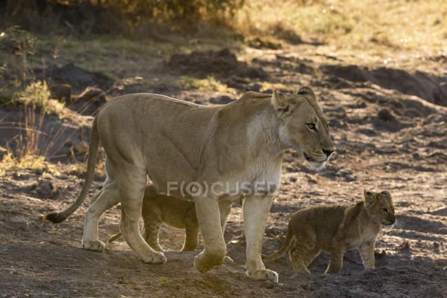 Leoa com filhotes — Fotografia de Stock