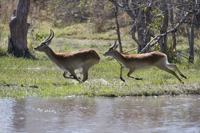 Red lechwe running in the wild — Stock Photo