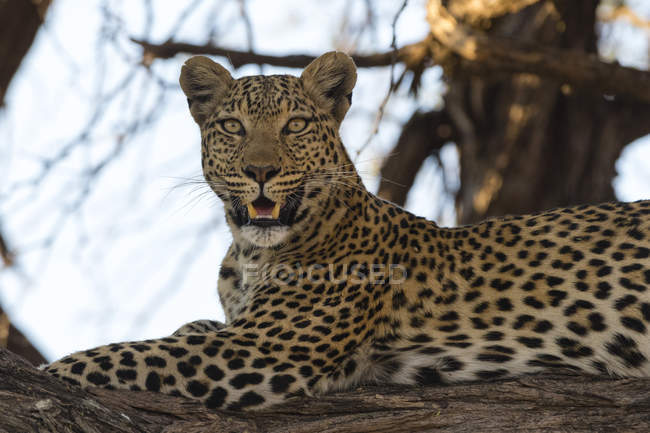 Leopard lying on tree branch — Stock Photo
