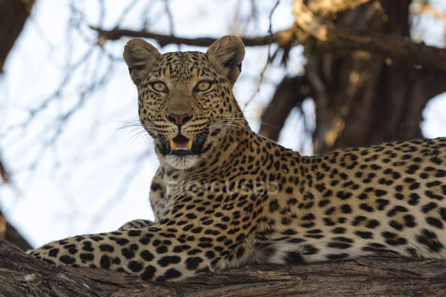 Leopardo sobre rama de árbol - foto de stock