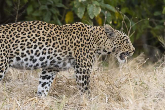 Leopardo de caminhadas na natureza — Fotografia de Stock