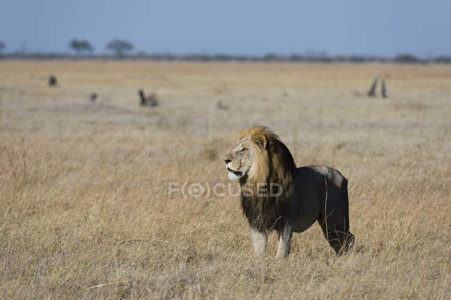 Lion standing in savanna — Stock Photo