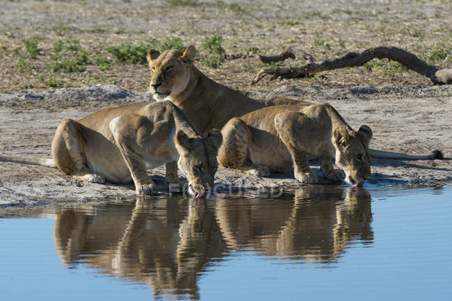Lionesses drinking water at waterhole — Stock Photo