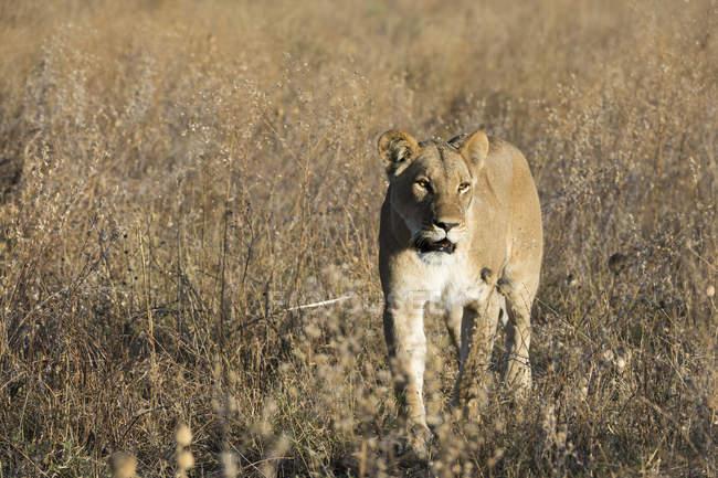 Leoa andando na savana — Fotografia de Stock