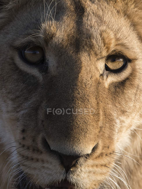 Лев, глядя на камеру — стоковое фото