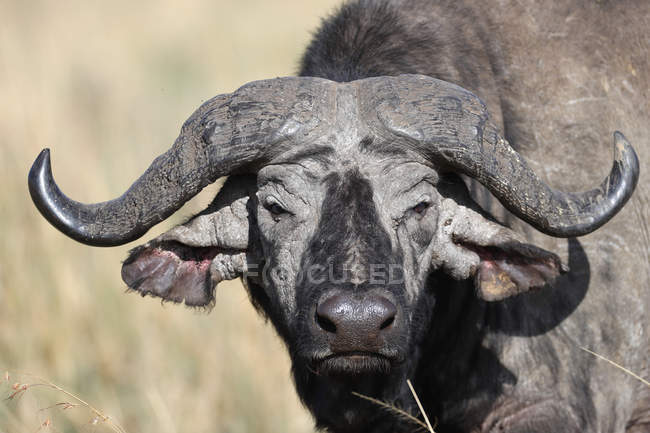 African buffalo in the wild — Stock Photo