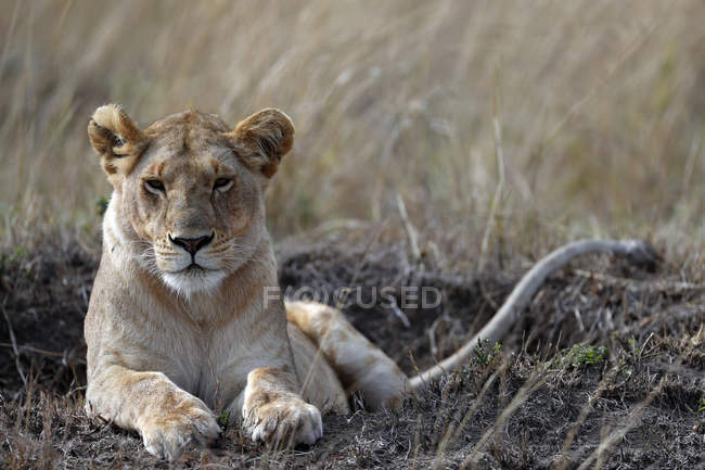 Lioness lying in savanna — Stock Photo