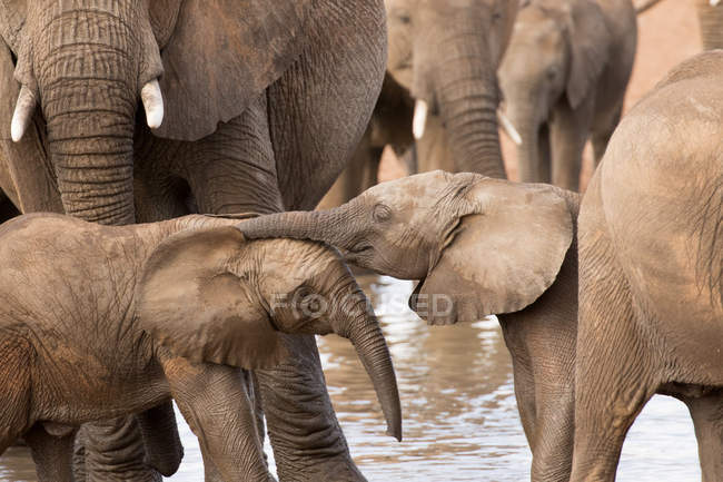 Group of African elephants with babies — Stock Photo