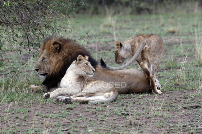Lion and lionesses in savanna — Stock Photo
