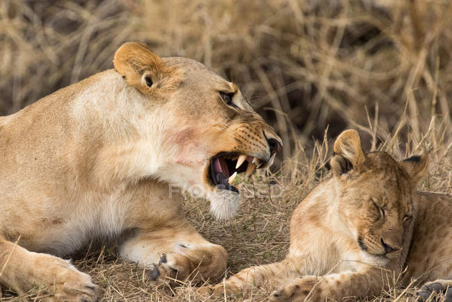 Lioness growling on cub in the wild — Stock Photo