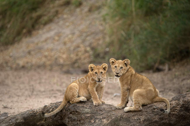 Lion cubs sitting on driftwood — Stock Photo