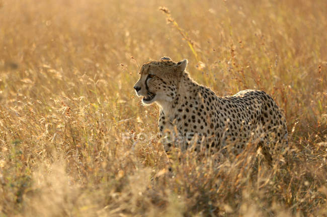 Cheetah prowling in savanna — Stock Photo