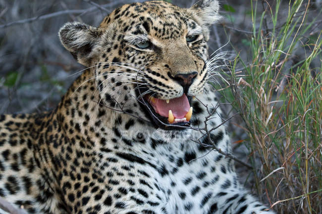 Leopardo africano en Sabana - foto de stock