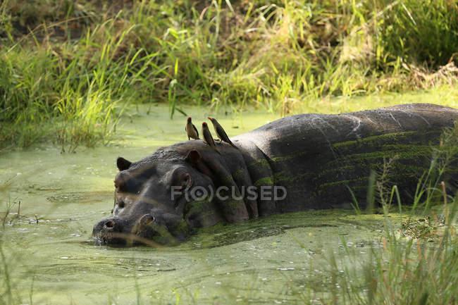 Бегемот, погруженных в воду — стоковое фото