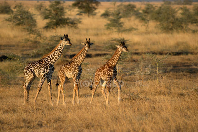 Giraffes standing in savanna — Stock Photo