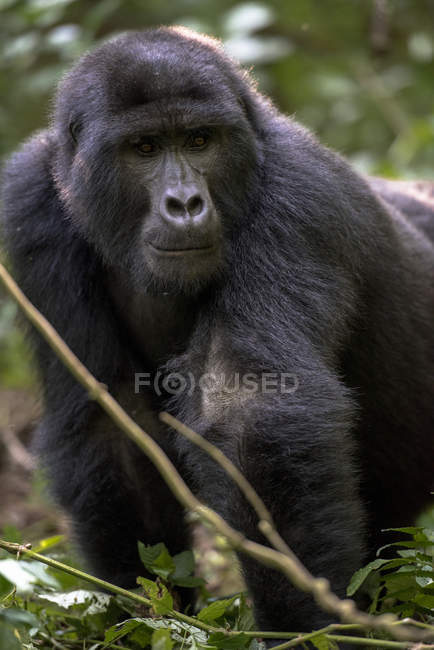 Mountain gorilla in the wild — Stock Photo