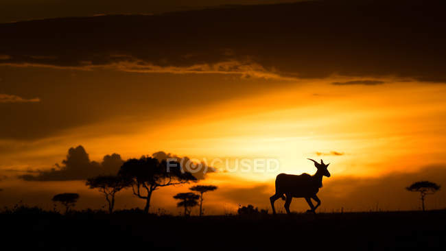 Eland in the wild at sunset — Stock Photo