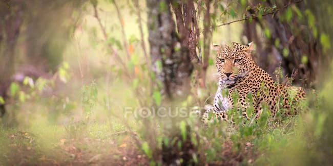 Leopardo deitado no chão — Fotografia de Stock