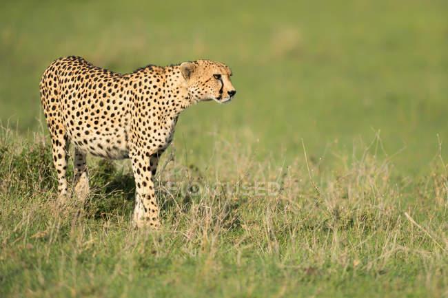 Cheetah hunting in the wild — Stock Photo