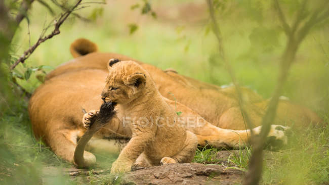 Lion cub biting mothers tail — Stock Photo