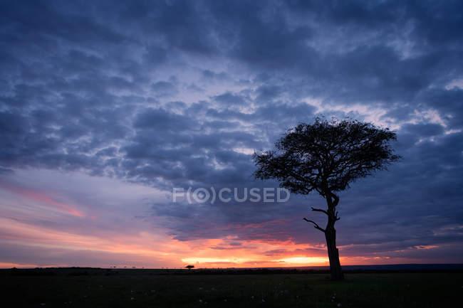 Akazie in Savanne bei Sonnenuntergang — Stockfoto