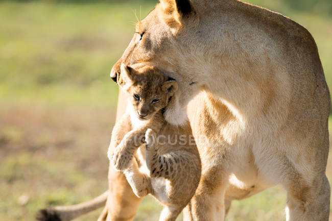 Lioness holding cub in mouth — Stock Photo