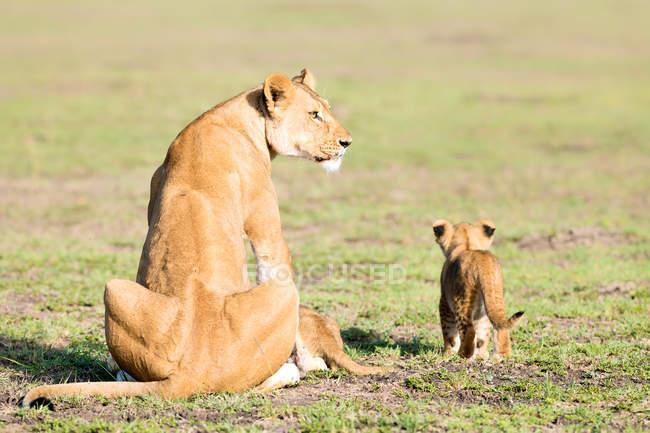 Львица и детенышей в дикой природе — стоковое фото