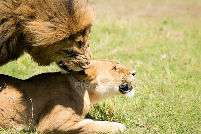 Mating Lions on grass — Stock Photo